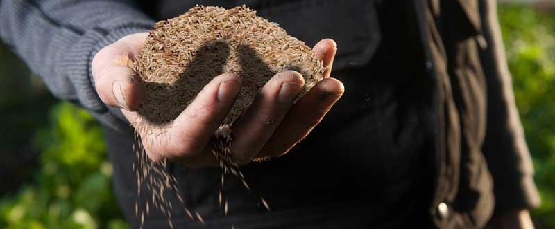 Een hand gevuld met graszaad